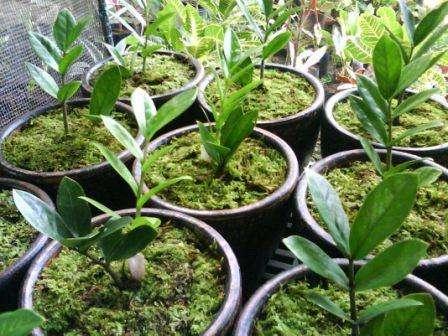 Замиокулькас Несколько стеблей, утолщенных внизу и тонких сверху, и множество зеленых плотных листьев овальной фор
