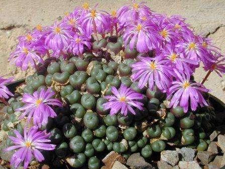 Конофитум Низкорослое растение, состоящее из сросшихся округлых плотных листьев, имеющих окраску от зелено-серого до темно-коричневого. Хорошо переносит перепады температур, низкую влажность и яркие сол