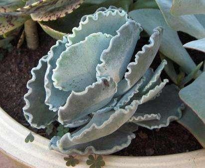 Котиледон Растение с древовидным стеблем и многочисленными толстыми листьями. Может вырастать высотой до двух метров. Котиледону не страшны перепады температур и сухой воздух. При уходе нужно стараться не пе