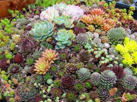 Суккуленты относятся к пустынным растениям, поэтому они любят сухой климат перепады температур. Конечно, вы не сможете создать естественные условия для их произрастания, так как в африканск