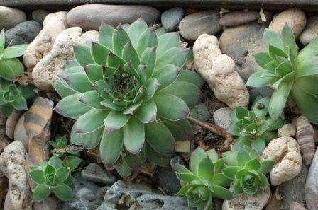 Молодило Считается, что это растение практически не требует ухода. Состоит из множества мелких жестких листьев, собранных в розетку, диаметр которой может достигать 20 сантиметров. Любит яркое солнце и низкую вла