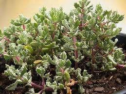 Оскулярия Многолетнее кустистое растение. Листья зелено-серого цвета, мелкие, мясистые. Растение хорошо переносит жаркий, сухой воздух и яркое солнце. Полив умеренный, почва должна просыхать между поливами на пару са