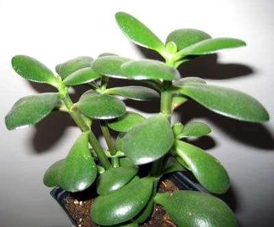 Толстянка Кустящееся растение с мелкими, сочными листьями, имеющими цвет от ярко-зеленого до красновато-коричневого. Легкое в уходе растение, стойкое к высоким и низким температурам и сухому воздуху. Летом тре