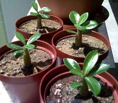 Адениум Имеет древовидный ствол и множество мелких листьев. Любит тепло и влагу. Опрыскивают листья растения раз в день