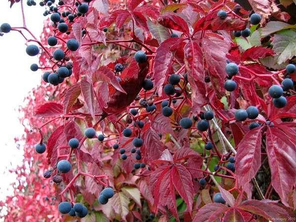 вьющиеся растения для беседки многолетние с фото и названиями