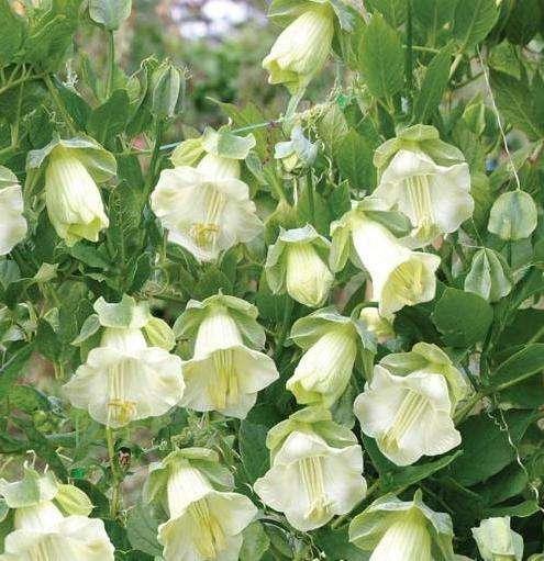 неприхотливые вьющиеся растения для дачи