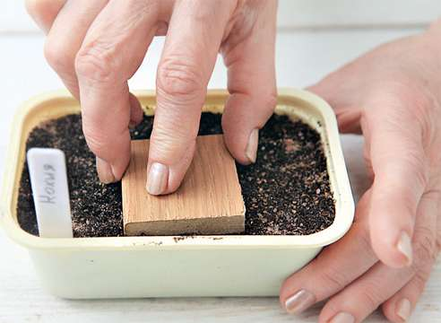 как вырастить рассаду кохии из семян