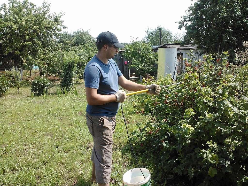 обработка смородины ранней весной