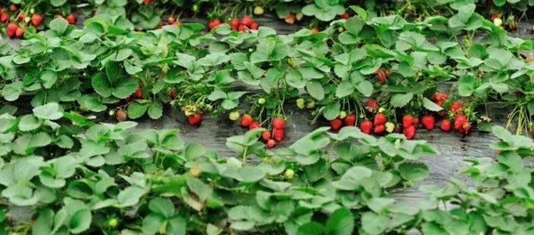 Как ухаживать за клубникой весной чтобы был хороший урожай