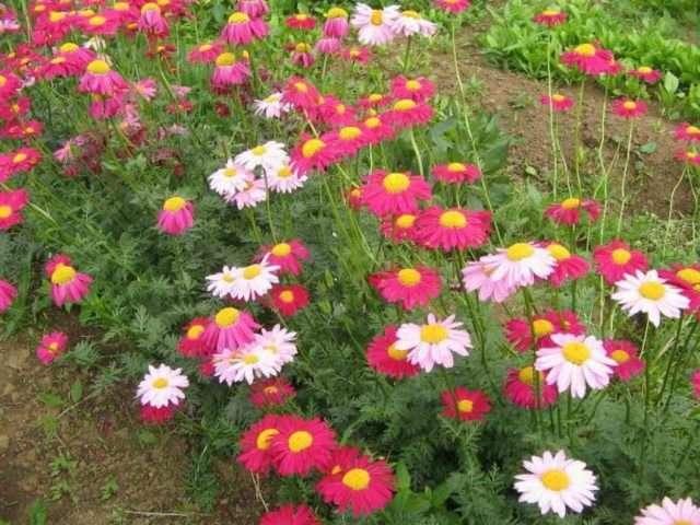 Пиретрум – розовая ромашка. Теневыносливое, светолюбивое растение, любит умеренное увлажнение, постоянный полив и садовые почвы.