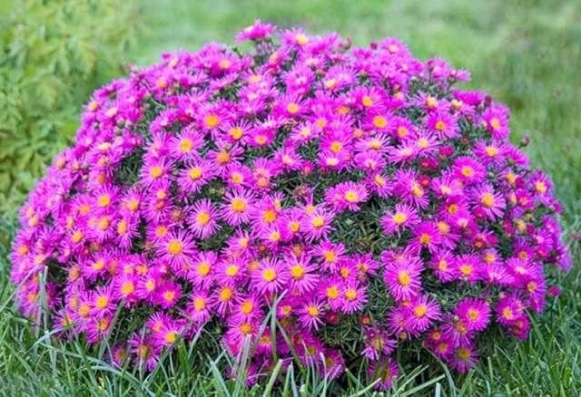 Астра многолетняя – холодостойкое растение с цветами – звёздами. Есть весенние, летние и осенние сорта