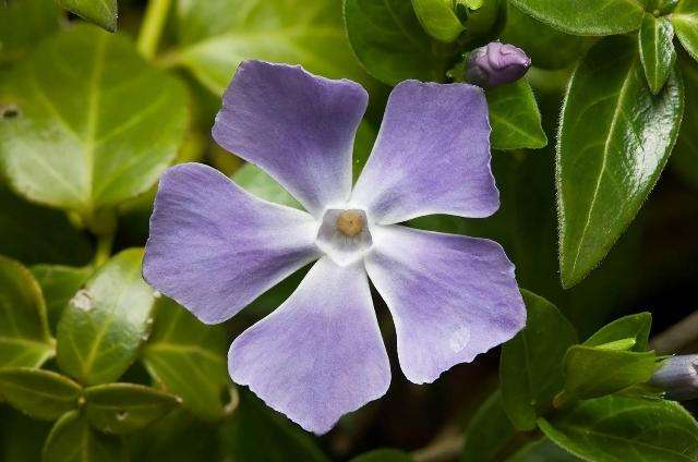цветок барвинка