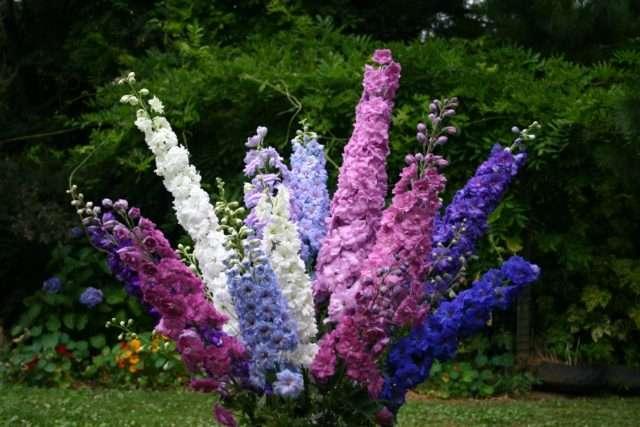 Дельфиниум (шпорник) – растение с высоким стеблем и красивыми соцветиями. Может достигать 150 см в высоту