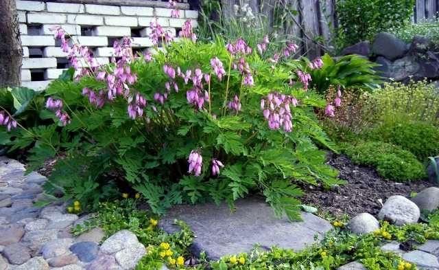 Для более пышного цветения, следует вносить органическое удобрение.