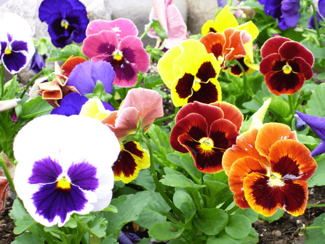 Для этих многолетних цветов необходима плодородная суглинистая почва. Любят солнечные местности, но могут переносить небольшую тень.