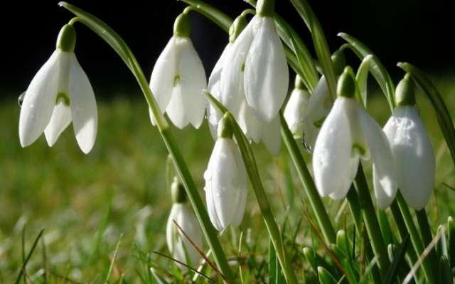 Галантус: фото цветка