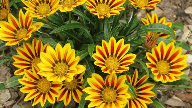 Газания – декоративные травянистые летнецветущие растения