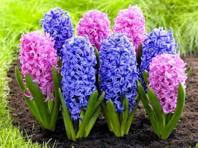 Гиацинты – цветы с большими, разноцветными соцветиями.