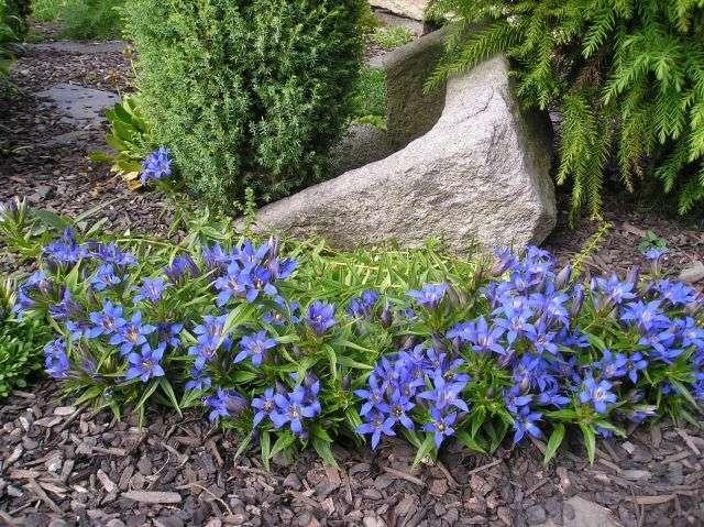 Горечавка (генциана) – низкорослое растение с цветами-колокольчиками. Цветет в мае – июне, а летние сорта с июня по август.
