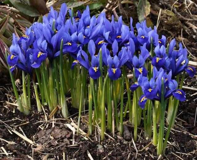 Иридодиктиум - садовый цветок многолетник