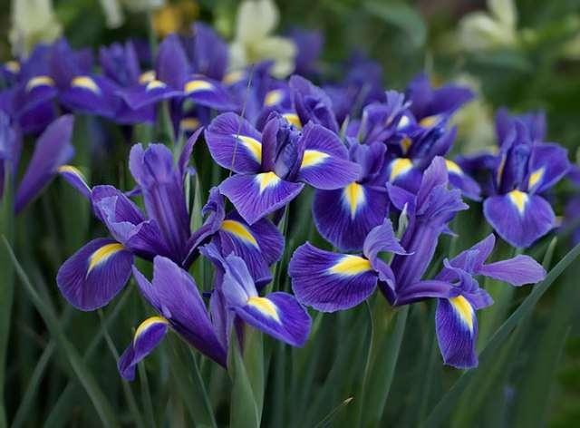 Ирис (касатик, петушки) – корневищное растение с яркими цветами. В зависимости от сорта, цветёт с мая по август.