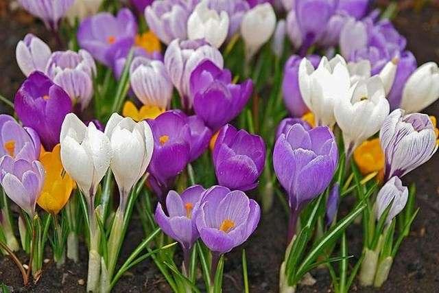 Крокусы (Шафран) – цветут вместе с галантусами, имеют разноцветные бутоны:
