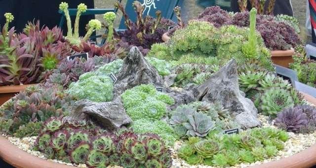 Молодило – низкое приземистое или стелющееся растение с суккулентными листьями.