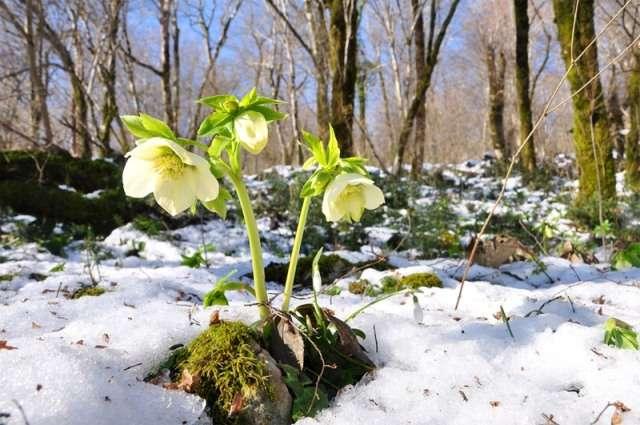 Морозник (геллиборус) – раннецветущее растение. Цветёт в марте и апреле. Цветки большие, в зависимости от сорта: