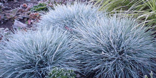 Овсяницы – многолетние злаковые травы. Формируют кустик из длинных, жестких листьев.