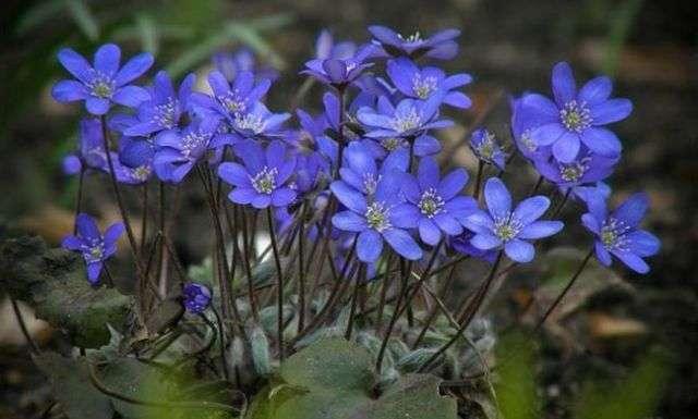 Печеночница (перелеска) – вечнозелёное лесное растение, которое хорошо приживается на новом месте.