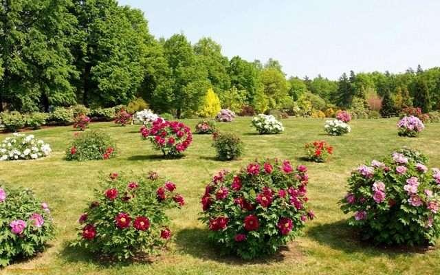 Для массового цветения в следующем году, следует обрезать куст сразу, после цветения.