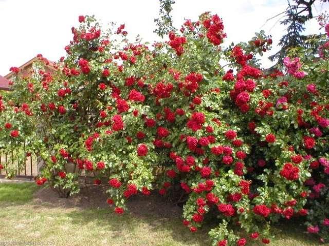 Плетистая роза – растение с длинными побегами и пышными бутонами.