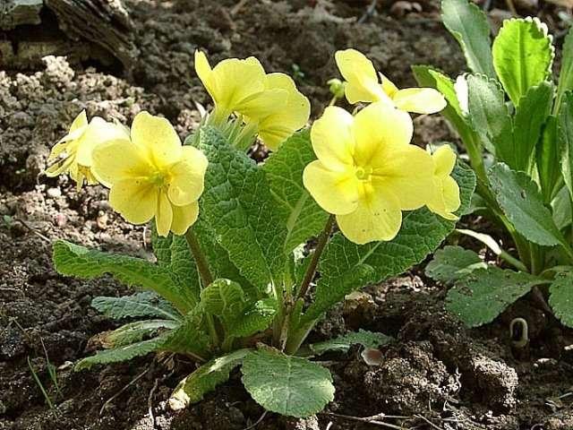 Примула (первоцвет) – известно около 550 видов. Цветы всевозможных окрасок.