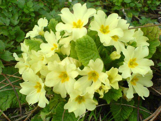 Фото цветения примулы на садовом участке