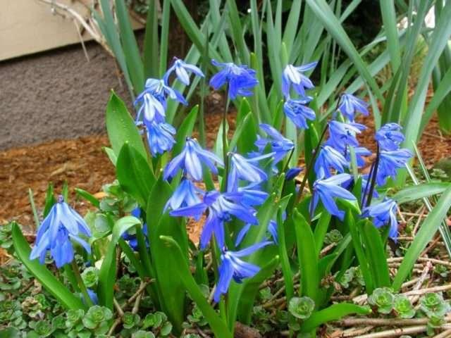 Пролеска (сцилла) – неприхотлива, не требует особого ухода. Цветёт в марте.