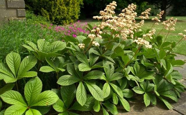 Роджерсия – экзотическое растение с неприхотливым характером.