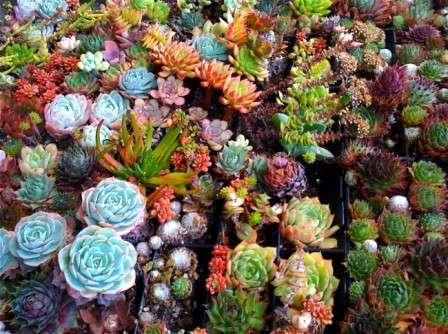 Суккуленты: фото и название. Каталог растений для флоариума