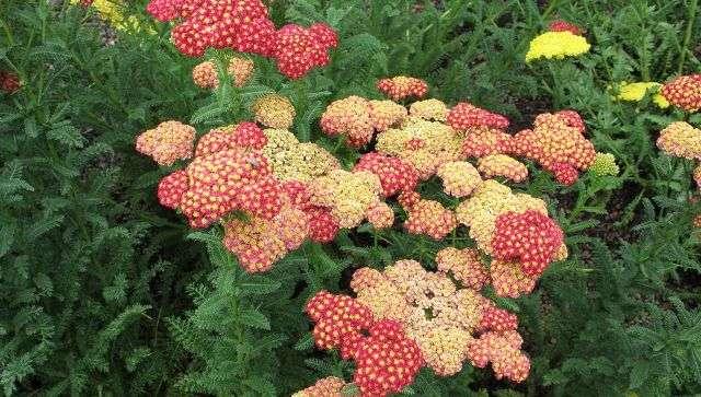 Тысячелистник – окультуренное дикорастущее растение. В природе встречается в основном с белыми цветами, редко – розовыми.