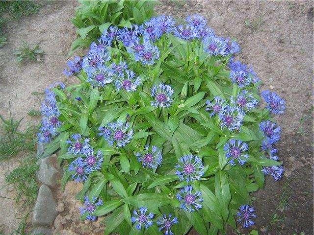 Василёк многолетний – растение семейства астровых, с долгим периодом цветения. Сроки цветения зависят от сорта, есть с июня по август
