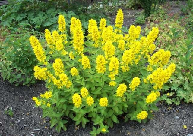 Вербейник (лизимахия) – высокие или стелющиеся травы с желтыми, редко – белыми цветами.