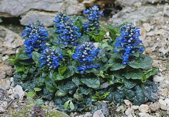 Живучка – растение, стойкое к негативным погодным условиям