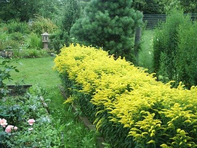 Золотарник (солидаго) – высокий кустарник с желтыми соцветиями. Высота куста может достигать двух метров, но есть и низкорослые – до 50 см