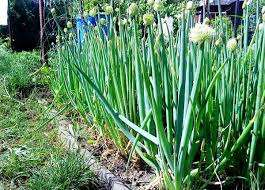 Посев семян производят во второй половине апреля, а на огород рассаду пересаживают во второй половине июня. Собирать зелень можно уже в сентябре. Для рассады готовят такую грунтовую смесь: на ведро смеси пе