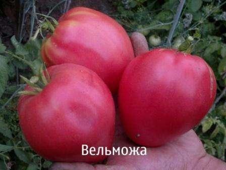 фото томат мастер