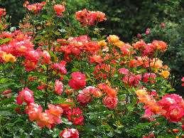 Роза Николь особо требовательна к поливу ранней весной, в процессе активного развития почек и роста п