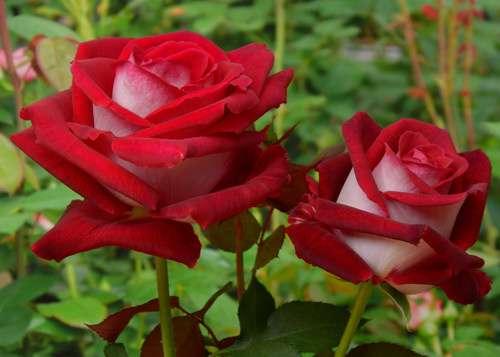 Роза укрывается только при установлении стабильной минусовой температуры. Над кустом сооружается деревянный каркас, который в свою очередь накрывается несколькими слоями пленки, брезента или другого мат