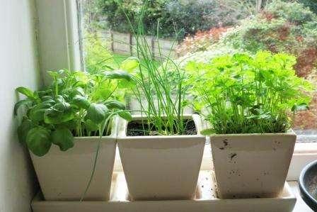 Как вырастить зелень в домашних условиях на подоконнике