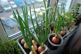 Лук. Вырастить лук сможет любой, даже начинающий садовод. Нужно всего лишь опустить луковицу в емкость с водой и со временем она начнет расти, и появятся первая зелень. Главное условие – в воде должны нах
