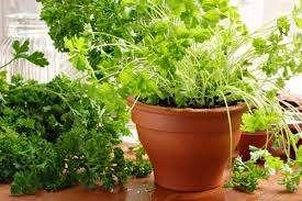 Петрушка. Выращивается эта зелень либо семенами, либо выгонкой. Выгонка делается из корешков. К ней нужно подготавливаться. Корнеплоды всегда можно приобрести в магазинах. Для посадки корнеплода нео