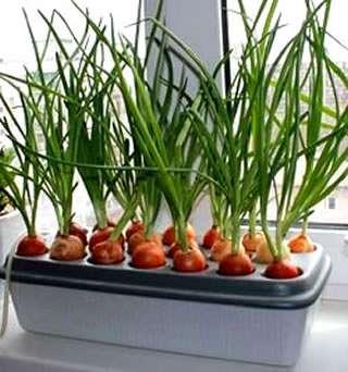 Репчатый зеленый лук. Очевидно, что именно это растение лучше всего растет и не требует огромной заботы. Наверняка каждый сталкивался с выращиванием этой культуры. Возьмем хотя бы детство, когда ре